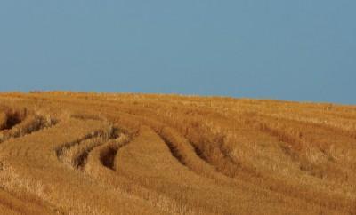 Wheat fields in Illinois