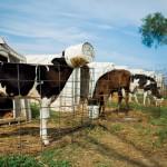 Dairy Farm Fun Facts