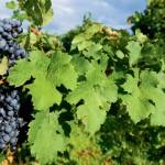 Farm Focus: Wineries