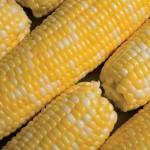 Sweet Corn Blues Festival in Normal