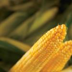 Farm Focus: Field Corn