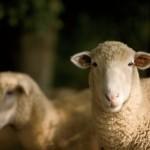 Farm Focus: Sheep