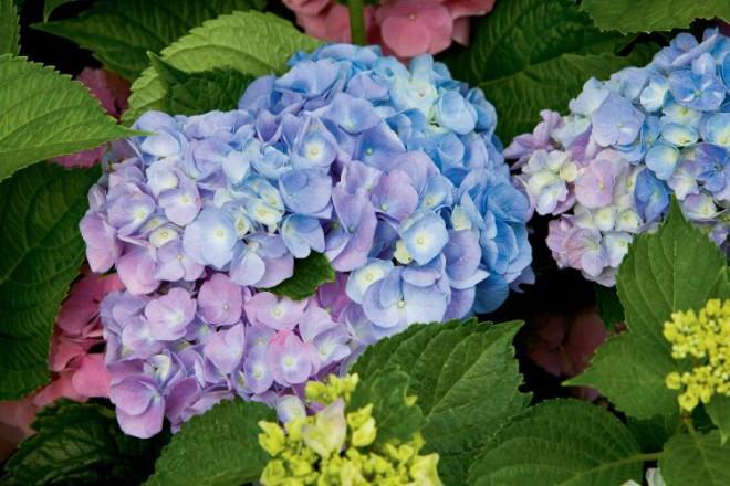 Kikko Blue Hydrangeas