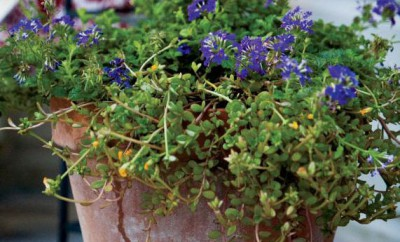 """Container flower gardens contain """"thrillers"""" or tall plants. """"fillers"""" to fill the space and """"spillers"""" to cascade out of the container. This pot uses Lillies, verbena and sedum."""