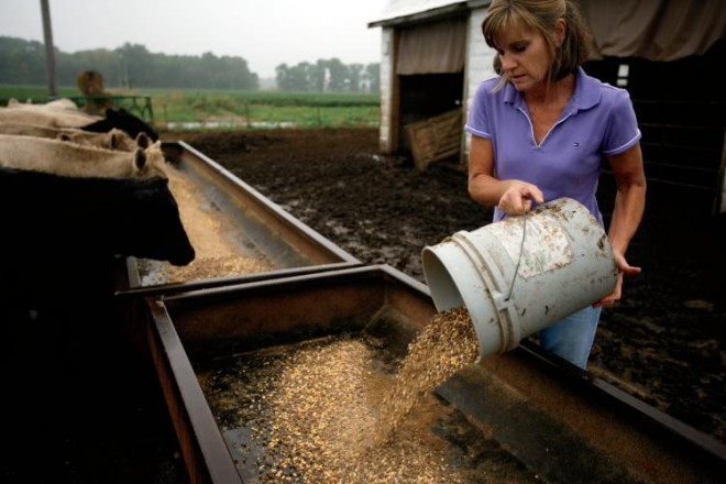 Lisa Buzzard, age 47, of Beecher City, Illinois, feeds the beef cattle on the farm where she works side by side with her husband Stan tending their 600-acre farm raising  corn, beans, wheat, and hay for feed the beef cattle.
