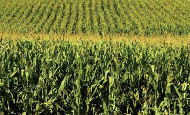 Cornfield in Illinois - September