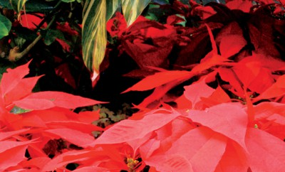 Luthy Botanical Gardens Candlelight Walk and Poinsettia Show