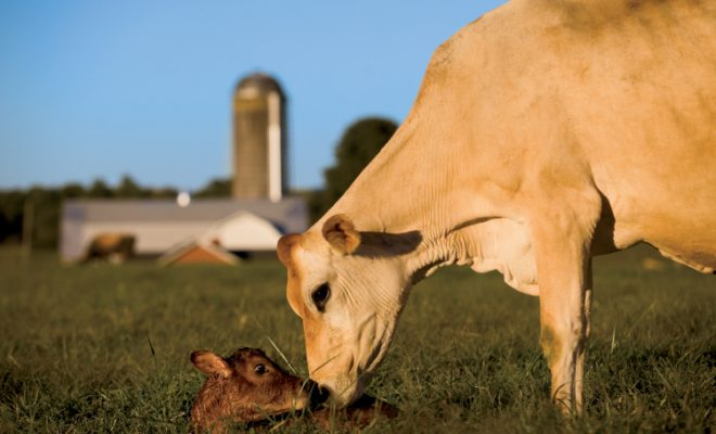 Cow cleans off her newborn calf