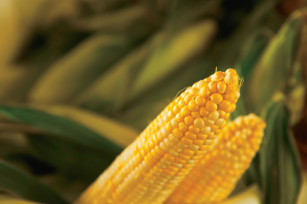 Field Corn Facts