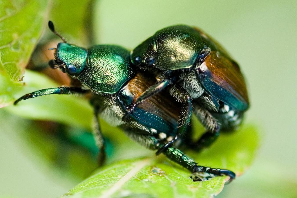 japanese beetles photo by Brandon Heyer