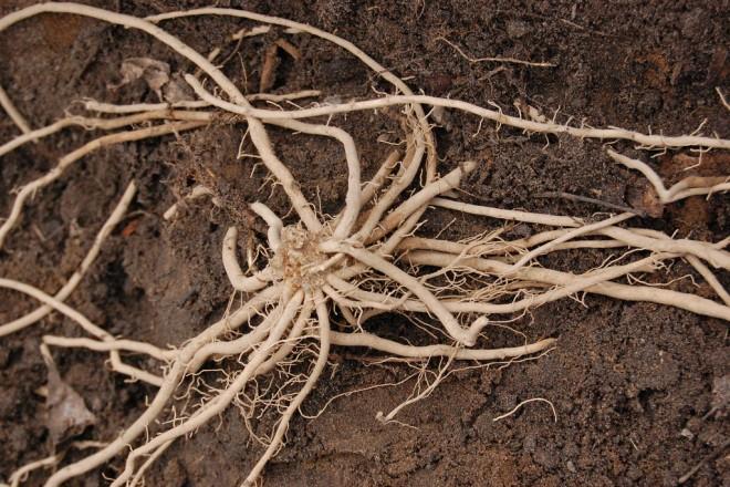 asparagus crown