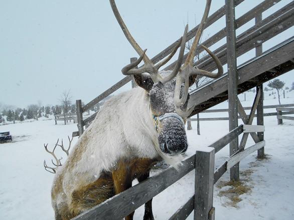 Hardy's Reindeer Ranch in Rantoul
