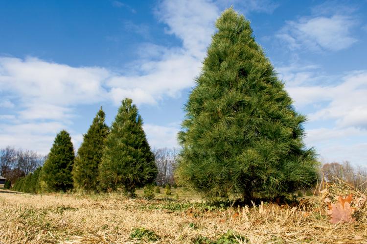 White pine Christmas trees
