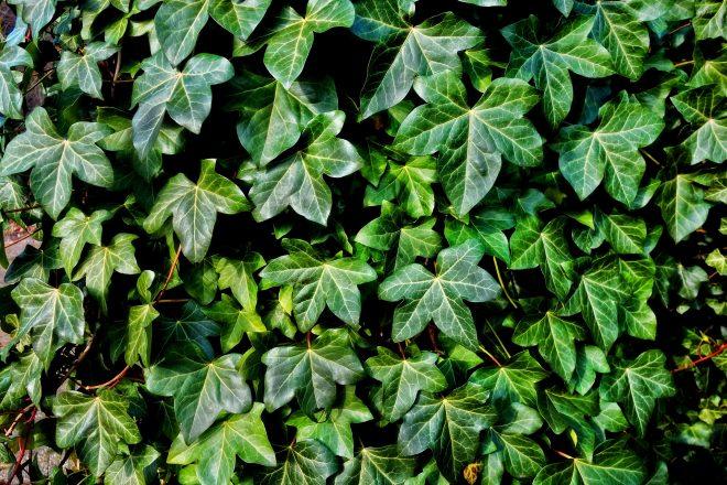 ivy-3194557_1920