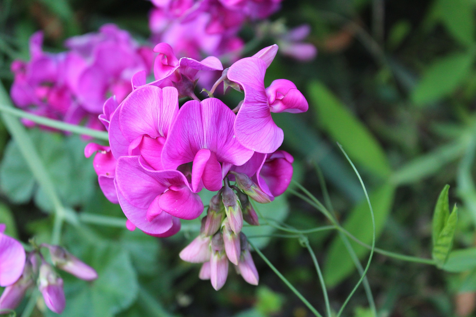 sweet-pea-scented-2766022_1920