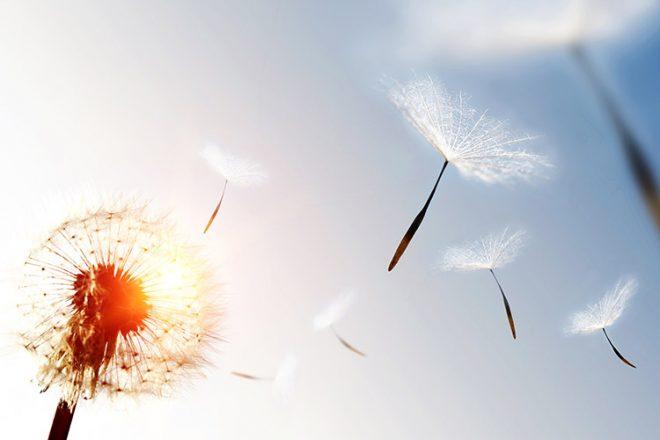 Dandelion blowing seeds in the sky