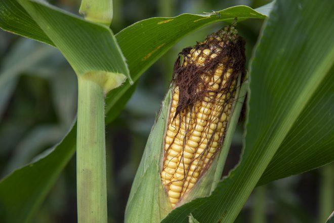 Corn Ear McLean 8_19 57