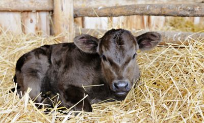 newborn calf laying in fluffy straw