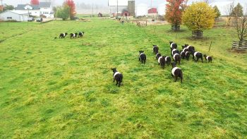 """Rayne helps round up the Willis family's herd of """"Oreo-cookie cows"""" or Belted Galloways, a breed of cattle imported from Scotland long ago into the United States. Julie Willis says the cattle have a """"high tenderness gene"""" and produce extra flavorful meat"""