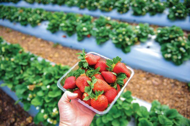 Tray full of strawberries