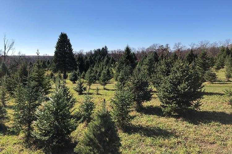 Illinois Christmas tree farm